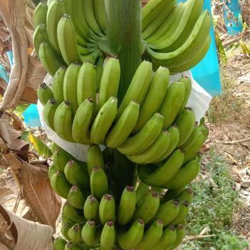 巴西香蕉 有需要的人赶紧联系我??!机会不能错过,错过就没了。