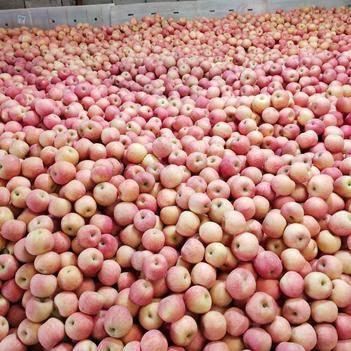 棲霞蘋果 綠色無公害