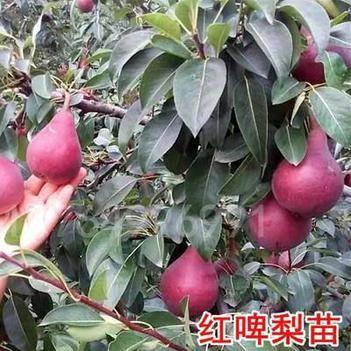 紅啤梨樹苗,嫁接苗,苗圃直發,品種純正,保濕發貨,包成活