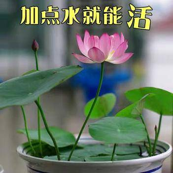 碗蓮種子四季開花已開口水培植物睡蓮荷花種子室內外盆栽綠植花卉