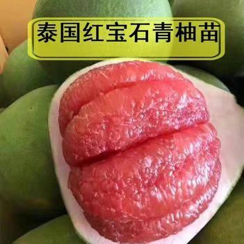 泰國紅寶石柚苗 泰國紅寶石大青柚子苗第二年可結果包郵