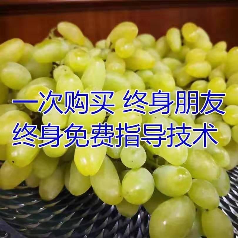 [葡萄苗批发]超早熟葡萄苗  黄蜜香超早熟无核葡萄,适合南北方种植,基地直销三包发货。价格4.8元/棵