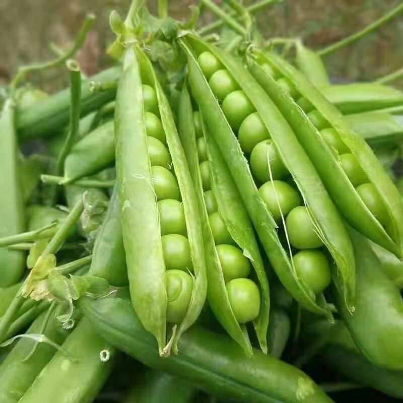 [豌豆荚批发]豌豆新鲜蔬菜农家自种水果青豆荷兰甜豌豆荚带壳价格13.8元/箱