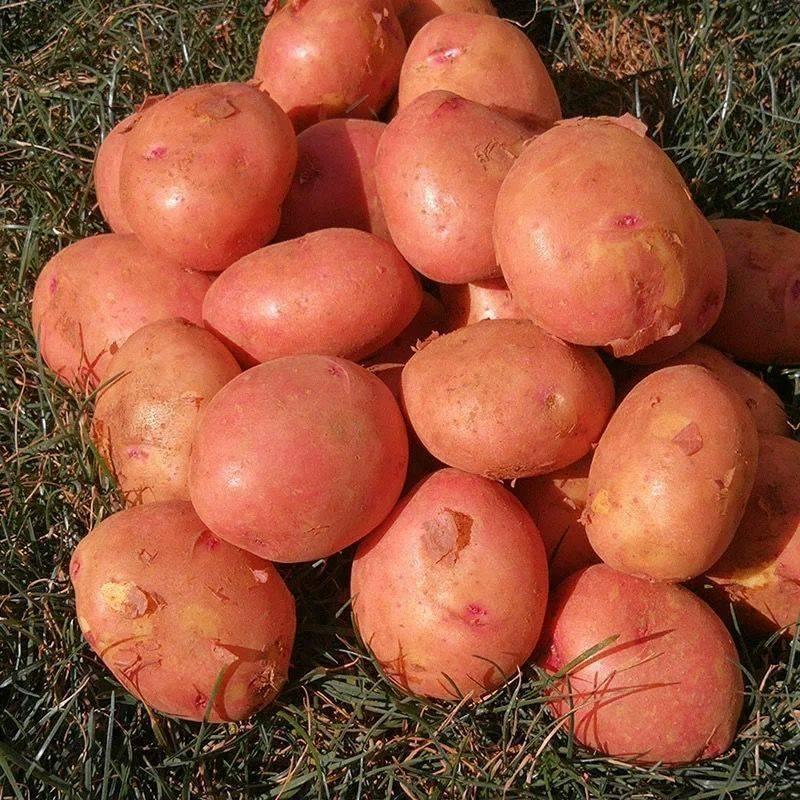 [土豆批发] 新鲜红皮黄心土豆马铃薯洋芋精品土豆5/10斤装一件代发包邮价格1.45元/斤