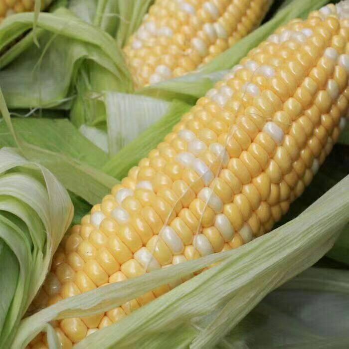 [水果玉米批发] 云南新鲜水果玉米带箱10斤包邮玉米棒子当季玉米黄粒包谷价格13.3元/箱