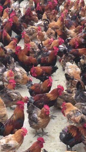 [鸡子批发]鸡子 正宗散养鸡价格28元/斤