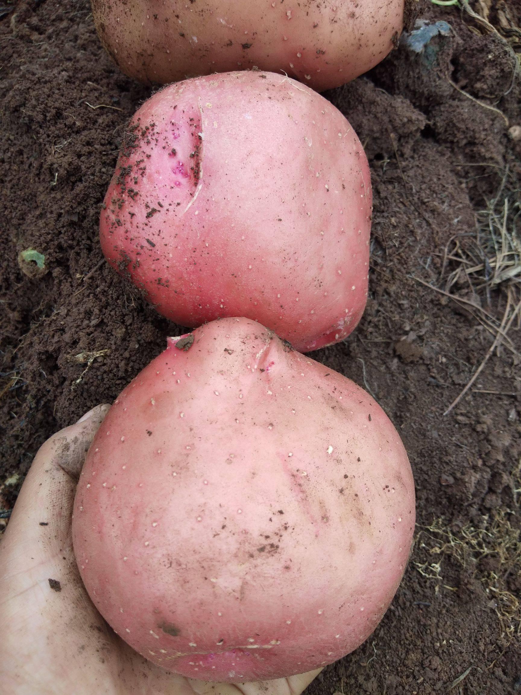[黄心土豆批发] 红皮黄心土豆价格0.8元/斤