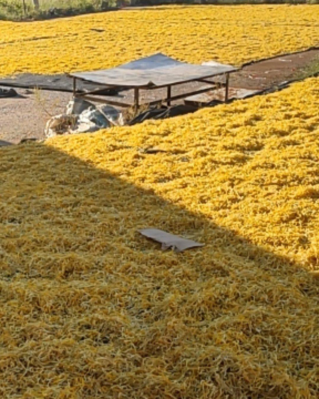 [黄花菜批发] 湖南黄花菜 颜色金黄,干度干,质量有保障,值得信赖价格9.5元/斤