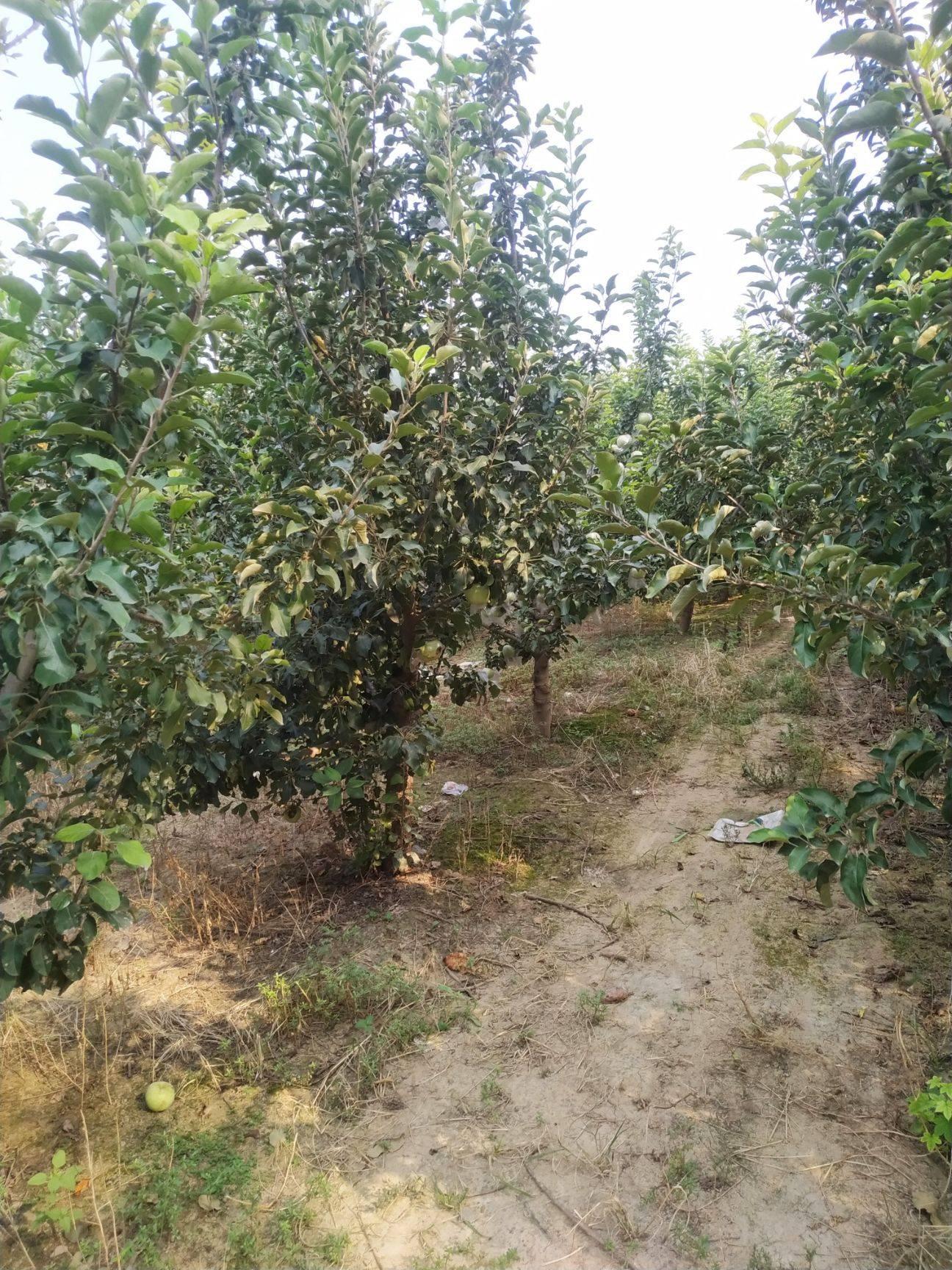 [苹果盆栽批发]苹果盆栽 苹果树价格65元/棵