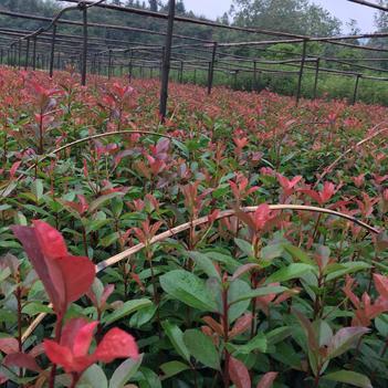 基地直銷現挖現發 紅葉石楠樹苗 零售批發