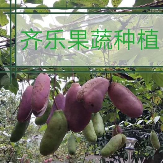 江西省上饒市鄱陽縣紫色一號八月瓜 美味紫紅八月果批發