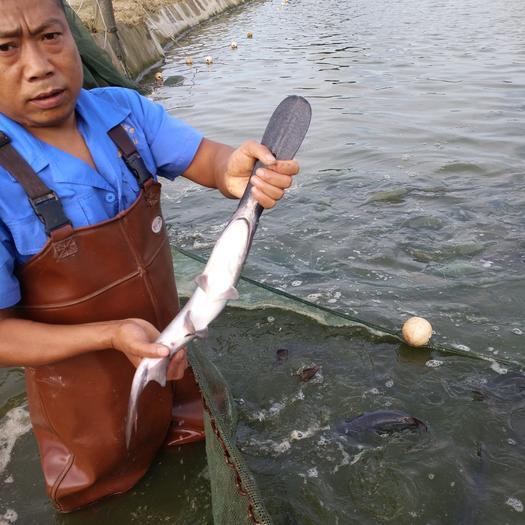 四川省眉山市东坡区鸭嘴鲟 1-2公斤 人工养殖