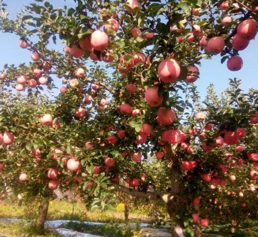 河南省三門峽市靈寶市靈寶蘋果 紙袋 條紅 85mm以上
