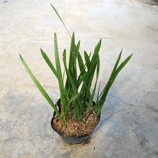 广东省广州市荔湾区加拿利海枣  棕榈科绿化种苗小苗