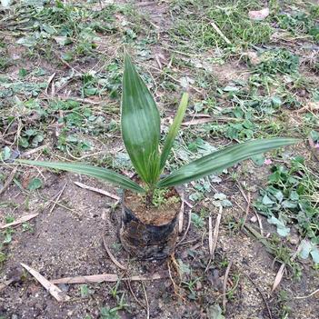 广州苗圃直供优质老人葵苗  棕榈科植物