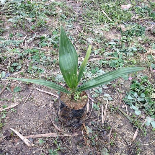 广东省广州市荔湾区 广州苗圃直供优质老人葵苗  棕榈科植物