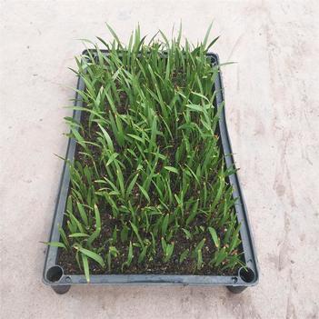 苗圃直供优质老人葵种苗 四季常青绿植