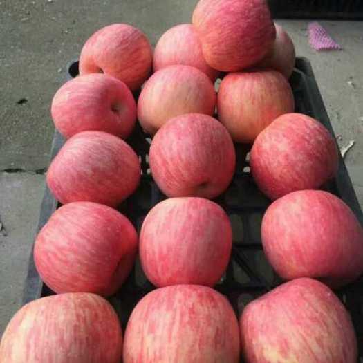 山東省臨沂市沂水縣長富2號蘋果 膜袋 條紅 75mm以上