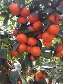 砂糖橘苗 嫁接苗 0.5~1米 可簽合同,不包郵