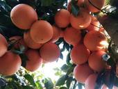 紐荷爾臍橙苗  0.5米以下 嫁接苗 根系發達,健康壯苗,正品行貨