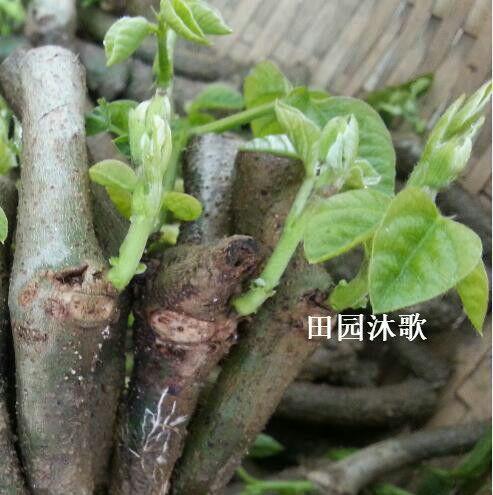 广西壮族自治区梧州市藤县无渣粉葛 4.5斤以上