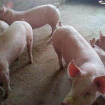 三元仔豬,瘦肉型,價格底,常年有貨
