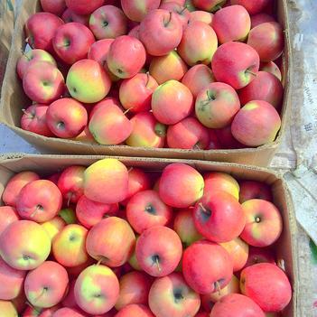 丹霞蘋果 65mm以上 片紅 光果