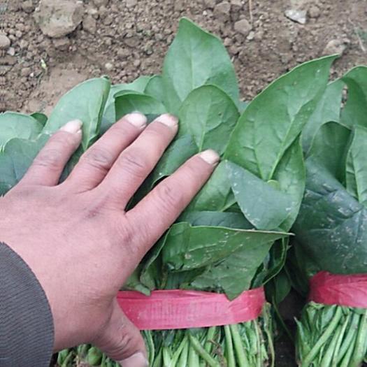山东省滨州市惠民县 菠菜,精品菠菜万亩基地,