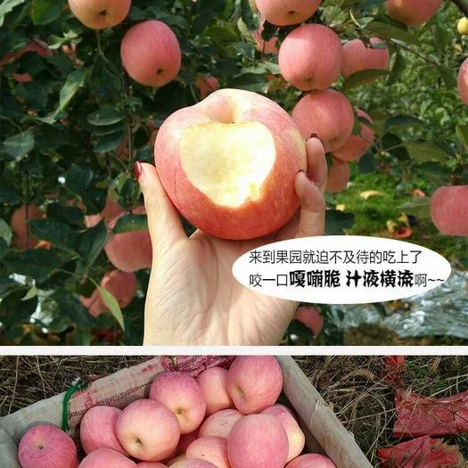 河南省商丘市虞城縣冰糖心蘋果 80mm以上 片紅 膜袋