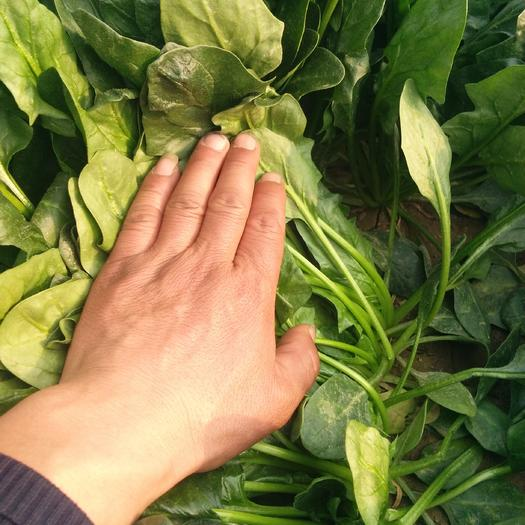 山东省滨州市惠民县名门菠菜 25~30cm
