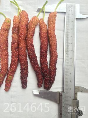長果桑苗 包種植指導   易成活好管理