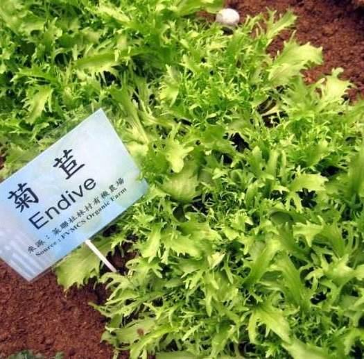 山東省菏澤市鄆城縣菊苣