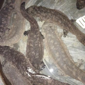 泰國野生斗魚