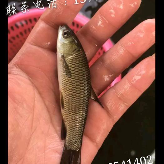 湖南省郴州市嘉禾县雄鱼 0.5公斤以下
