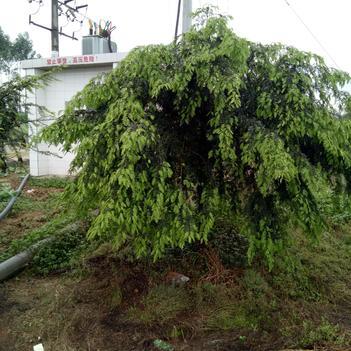 南方红豆杉 3.5米~5米
