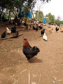雞肉類 新鮮 正宗山林散養的老母雞