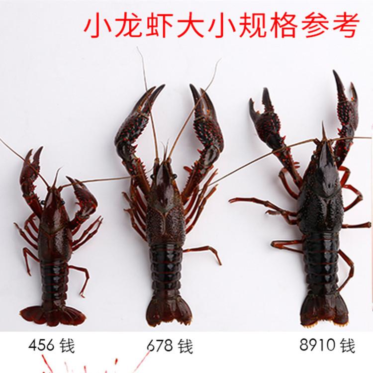洪湖小龍蝦 稻田蝦 硬4.6-6.8錢  基地直供 餐飲精選