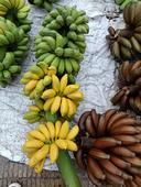米蕉 九成熟