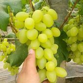 维多利亚葡萄 5%以下 1次果 2斤以上