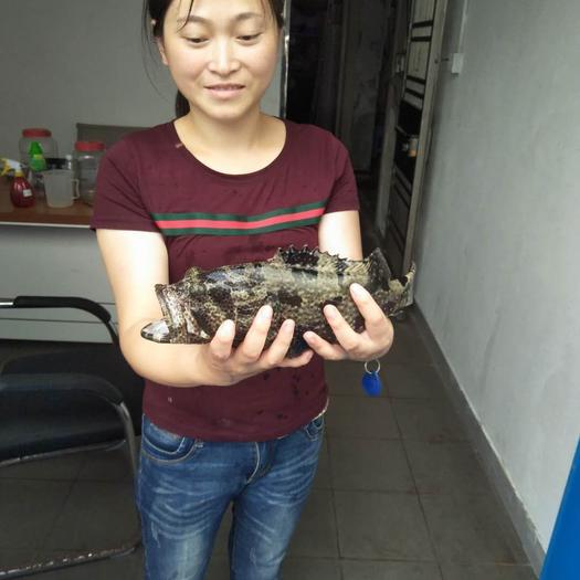 廣東省東莞市東莞市老虎斑 人工養殖 1-1.5公斤