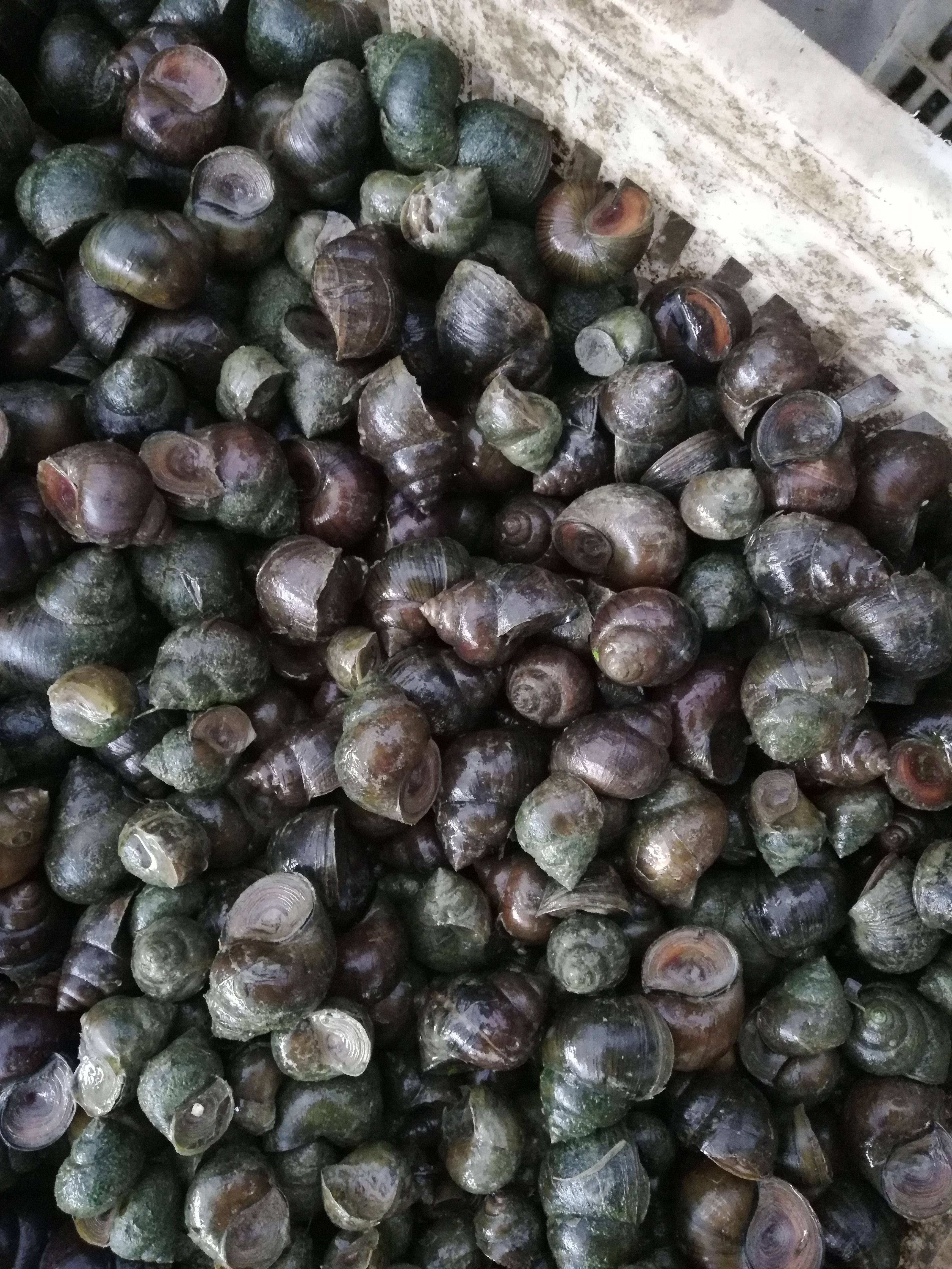 中國圓田螺 中小規格二十幾到三十幾個一斤