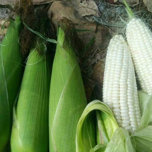 云南省西雙版納傣族自治州景洪市 萬糯2000新鮮玉米