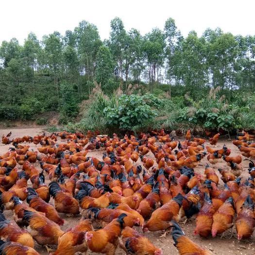 廣西壯族自治區南寧市西鄉塘區紅公雞苗 の大紅公雞苗