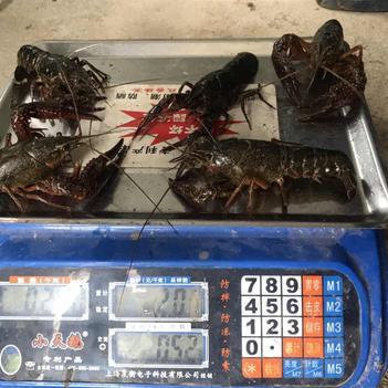 青紅蝦 人工養殖 5-7錢