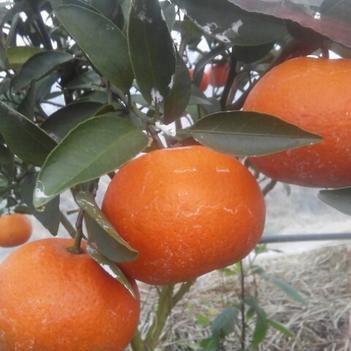 愛媛30號雜柑苗 嫁接苗 0.35~0.5米