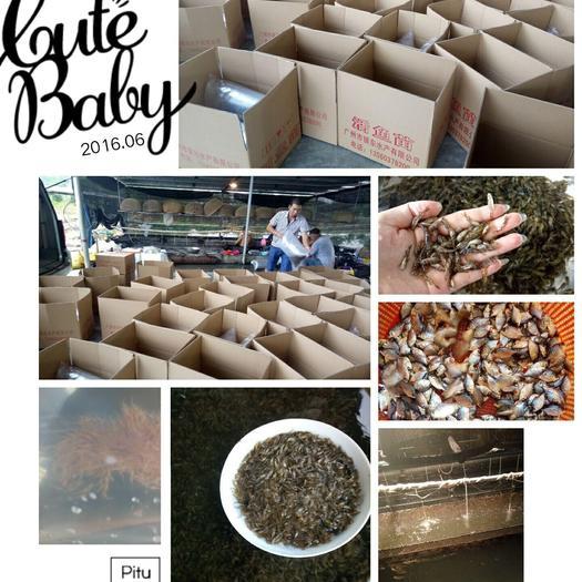 广东省广州市花都区鸭嘴鲟 人工养殖 0.5公斤以下
