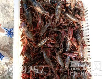 清水小龍蝦 塘蝦 7-9錢