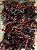 清水小龍蝦 塘蝦 4-6錢