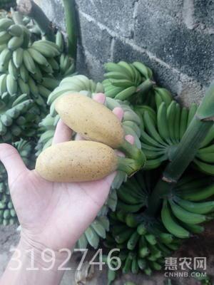 小米蕉 包郵9斤裝 果園直銷 一件代發