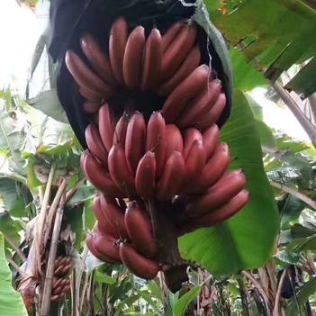 紅香蕉,美人蕉五斤裝包郵